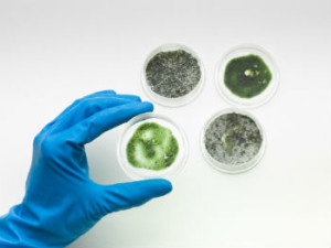 mold clean up of common molds San Diego CA